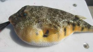 04-24-15 - Blow Toad - Puffer  - Jennette Pier